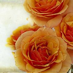 30 Free Lovely Rose Backgrounds and Textures